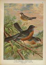 Turdus migratorius L. Wanderdrossel ...
