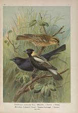 Dolichonyx oryzivorus (L.), Bobolink ... Molothrus Cabanisii Cassin, Cassins Kuhvogel ...