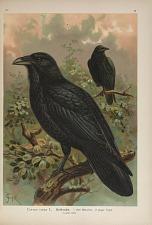 Corvus corax L. Kolkrabe ...