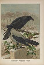 Corvus corone L. Krähen-Rabe ... Corvus cornix L. Nebel-Rabe ...