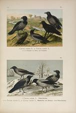 Corvus corone L. x Corvus cornix L. ... Corvus cornix L. Nebelkrähe ... Corvus corone L. x Corvus cornix L. Bastarde von Raben- und Nebeikrähe.