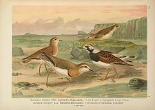 Charadrius asiaticus Pall., Asiatischer Regenpfeifer ... Arenaria interpres (L.). Halsband-Steinwälzer ...