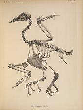 Carpophaga pinon (Q.G.)