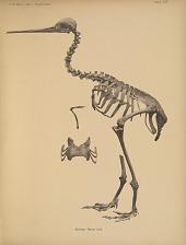 Apteryx Oweni Gld.
