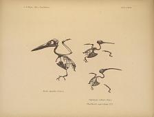 Alcedo ispioides (Less.). Clytolaema rubinea (Gm.). Phaethorius superciliosus (L.).