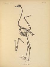 Balearica pavonina (L.)