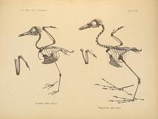 Aegialitis dubia (Scop.). Ortygometra nigra (Gm.).