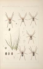 Arachnides de Belgique.