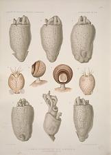 1-5 Spirula 6,7 Mastigoteuthis magna 8,9 Décapode sp. ? 10 Calliteuthis sp. ? juv.