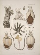 1-5 Mastigoteuthis magna 6-9 Spirula juv.