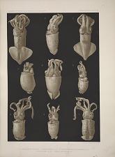 1,2 Abraliopsis pfefferi 2-5 Abraliopsis juv. sp. 6,7 Thelidioteuthis alessandrini juv. 8 Pyroteuthis sp. juv. 9 Benthoteuthis sp. juv.