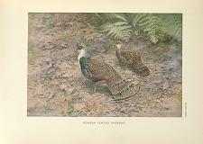 Bornean Peacock Pheasant.