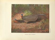 Bornean Argus Pheasant.