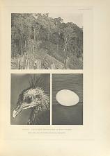 Borneo jungle near dancing place of Argus Pheasant. Head and egg of Bornean Argus Pheasant.