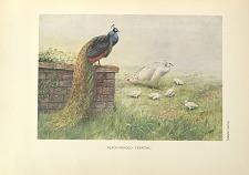Black-winged Peafowl.