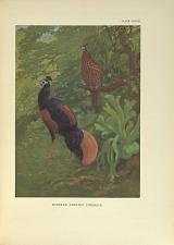 Bornean Crested Fireback