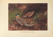Yellow-necked Koklass Pheasant