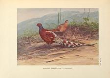 Burmese Barred-backed Pheasant