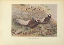 Brown-eared Pheasant.