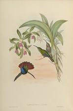 Campylopterus Lazulus.