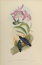 Campylopterus Delattrei.
