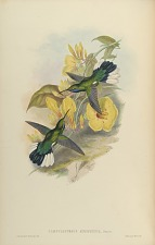 Campylopterus Ensipennis, Swains.