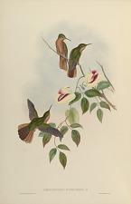 Campylopterus Hyperthrus, Cab.