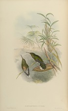 Campylopterus? Cuvieri.