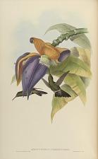 Aphantochroa Cirrhochloris.