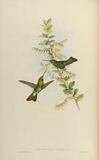 Aphantochroa Gularis, Gould