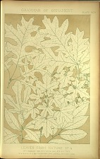 Leaves From Nature No 4. No 1 Scarlet Oak, No 2 White Oak, No 3 Fig Tree, No 4 Maple, No 5 White Bryony, No 6 Laurel, No 7 Bay Tree