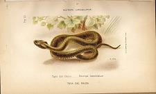 3. Taya del Cauca (Botrops lanceloatus)