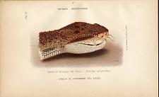 4. Cabeza de verrugosa del Choco (Botrops acrochordus)