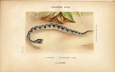 5. La Hilvan (Thanatophis sutus)