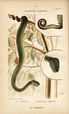 6. La Colgardora (Thanatophis colgadora)