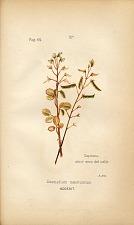 12. Capitana, amor seco del valle (Desmodium mauritani)