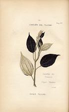 14. Canelon del Telembi (Piper Telembi)