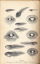 Pl. I. Tadpoles. Discoglossus. Bombinator. Alytes. Pelodytes