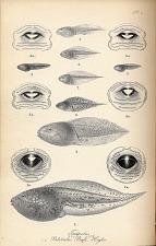 Tadpoles. Pelobates, Bufo, Hyla