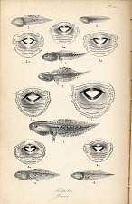 Pl. III. Tadpoles. Rana