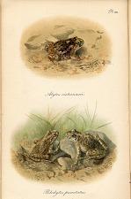 Pl. VIII. Alytes cisternasii. Pelodytes punctatus