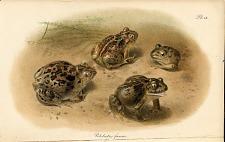 Pl. IX. Pelobates fuscus