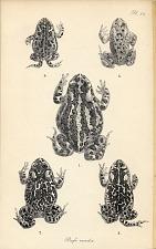 Pl. XII. Bufo viridis