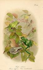 Pl. XIV. Hyla arborea. Forma typica. Var. meridionalis