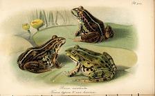 Pl. XVII. Rana esculenta. Forma typica and var. lessonae
