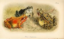 Pl. XX. Rana temporaria