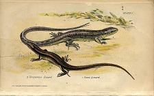 2. Viviparous Lizard 1. Sand Lizard