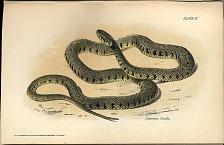 Common Snake