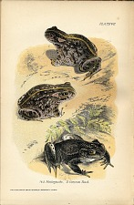 1 & 2 Natterjacks 3. Common Toad