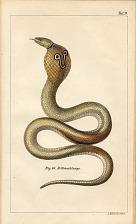 Fig. 16. Brillenschlange